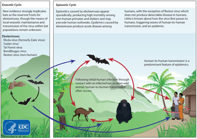 Ebola Virus Cycle and Prevention